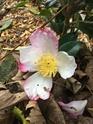 Camellia !!! - Page 8 61d45310
