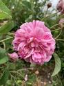 Rosa belle des jardins 64156c10