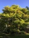 Acer palmatum 'Dissectum' !!! - Page 3 64903d10