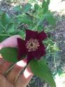 Rosa basye's purple rose 6d5ae210