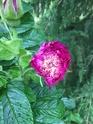 rosier souvenir de trélazé - Page 7 7274f410