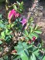Rosa liisa 78b13f10