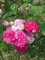 Rosa 'De la Grifferaie' 8bcbdd10