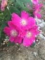 Rosa hienohelma  9552cc10