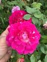 Rosa guenole savina  A54a9010