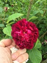 Rosa jean pierre vibert de trangé Af354310
