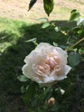 Rosa Mme Alfred Carriere B30cef10