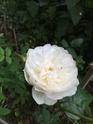 Rosa 'William & Catherine' B6cf0910