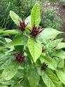 calycanthus  floridus Bc4e1310