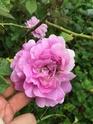 Rosa guenole savina  Ced5e010