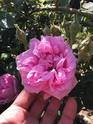 Rosa x damascena  D1bfe310
