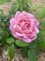 Rosa Robert Léopold  D65c1310