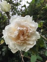 Rosa Mme Alfred Carriere D6740b10
