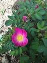 Rosa liisa Ecd14a10