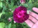 Rosa 'Ombrée parfaite' Fe7cca10