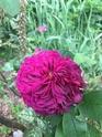 Rosa mortalisatis  Ffd68510