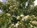 arbre à fleur parfumé = heptacodium miconioides Img_3911