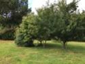 arbre à fleur parfumé = heptacodium miconioides Img_3912