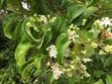 arbre à fleur parfumé = heptacodium miconioides Img_3913