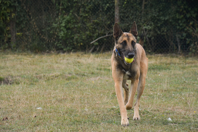 LUCKY (Berger Belge Malinois) Chiens13