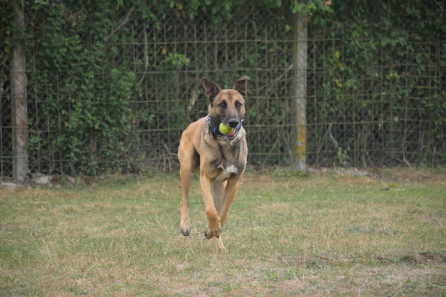 LUCKY (Berger Belge Malinois) Chiens15
