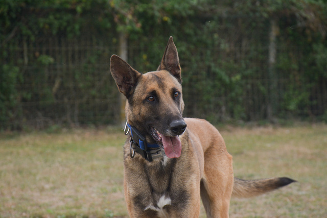LUCKY (Berger Belge Malinois) Chiens16