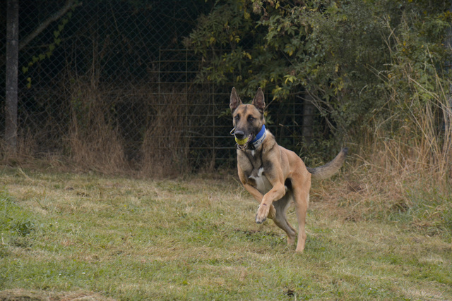 LUCKY (Berger Belge Malinois) Chiens17