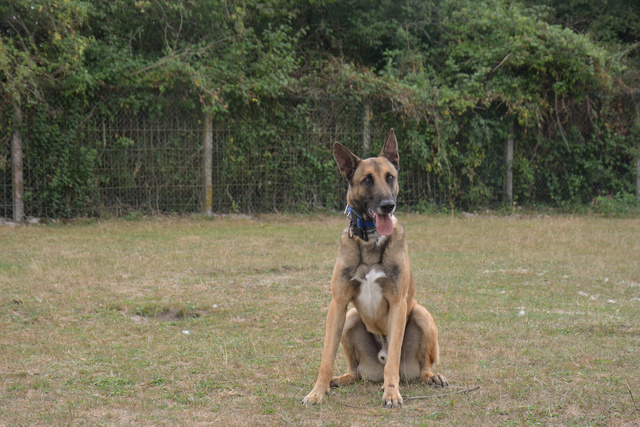 LUCKY (Berger Belge Malinois) Chiens18