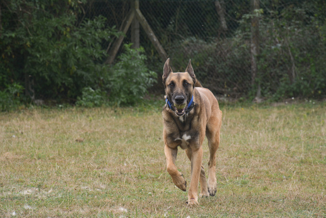 LUCKY (Berger Belge Malinois) Chiens19