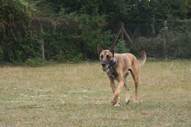 LUCKY (Berger Belge Malinois) Chiens21