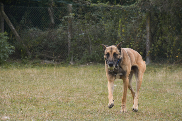 LUCKY (Berger Belge Malinois) Chiens22