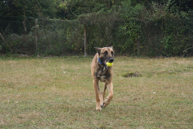 LUCKY (Berger Belge Malinois) Chiens23
