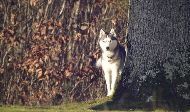 mes louves en forêt Automn10