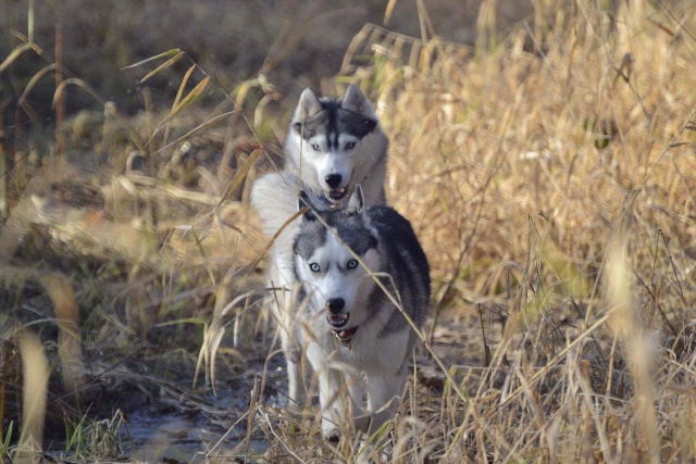 mes louves en forêt Automn13