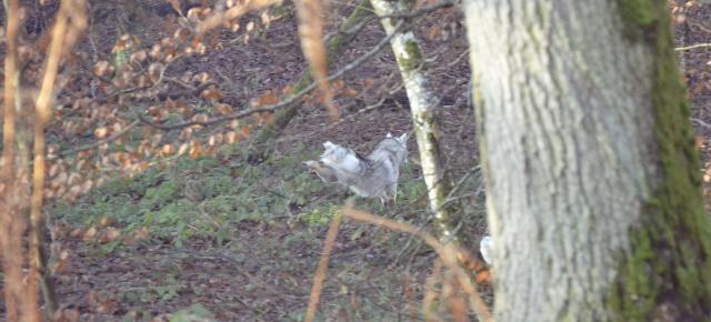 mes louves en forêt Automn15