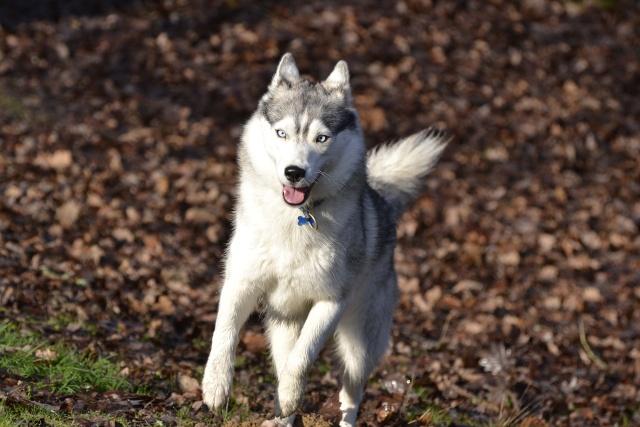 mes louves en forêt Automn16