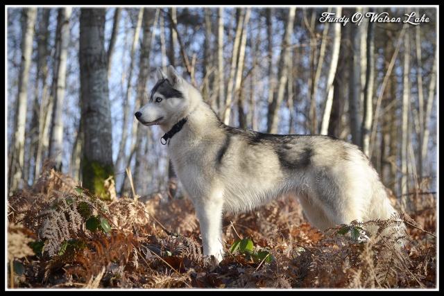 mes louves en forêt Automn17