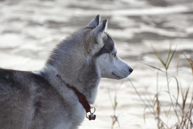 mes louves en forêt Automn18