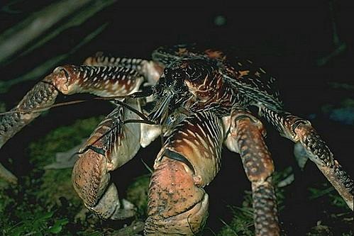 Crabe géant des cocotiers, assez impressionnant. - Page 2 Crabec10