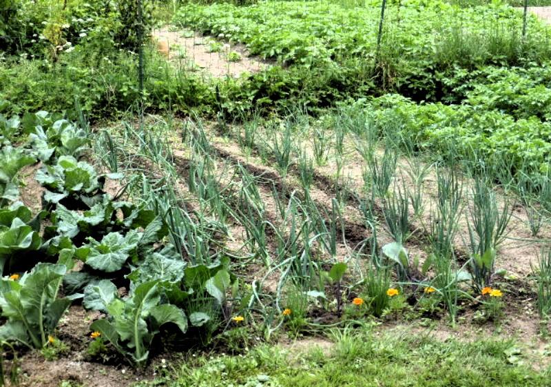 Mon jardin potager P1010316