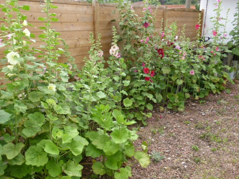 Mon jardin potager - Page 2 P1010411