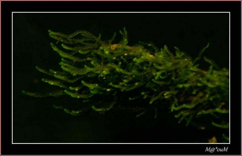 Fan de mousses aquatiques [Liste et photos] Trunca10