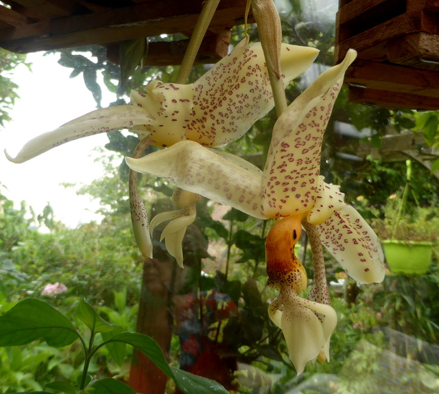 Stanhopea oculata 03-09-15