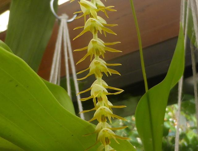Dendrochilum latifolium var. macranthum 11-09-13