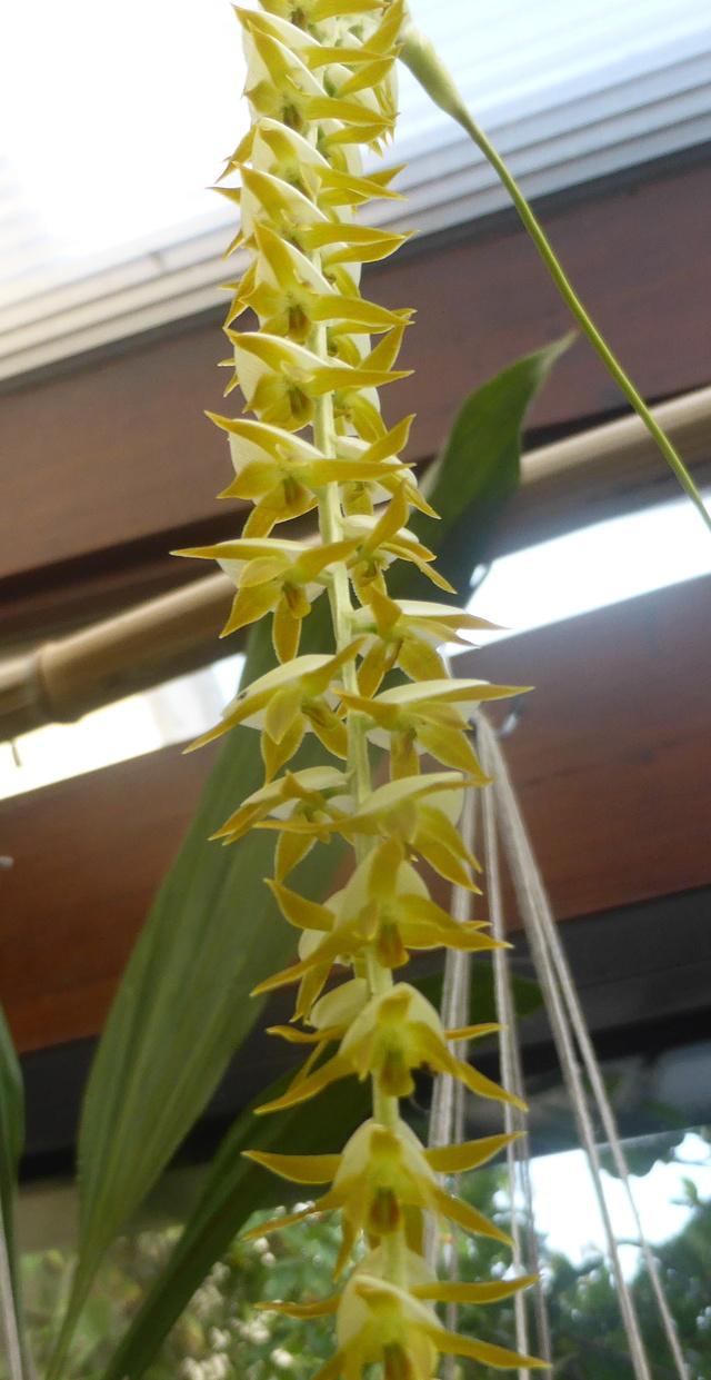 Dendrochilum latifolium var. macranthum 11-09-14