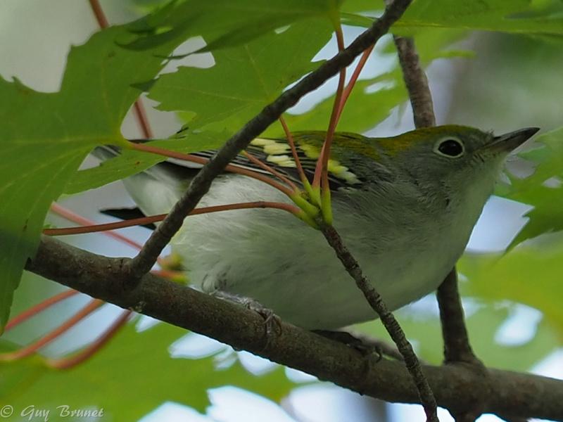 Encore d'autres oiseaux à identifier s.v.p. P9100710