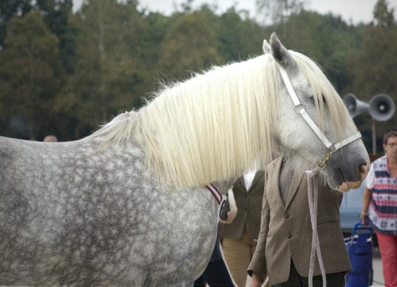 Panini - Shire horse - walkaround  _mg_5311