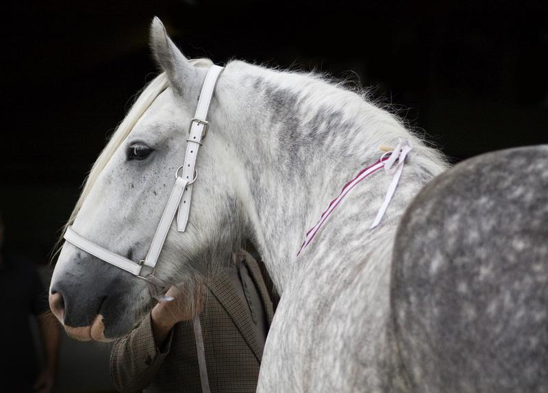 Panini - Shire horse - walkaround  _mg_5312