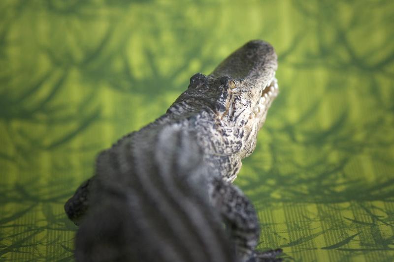 Mojo alligator- walk around by Ana _mg_6911