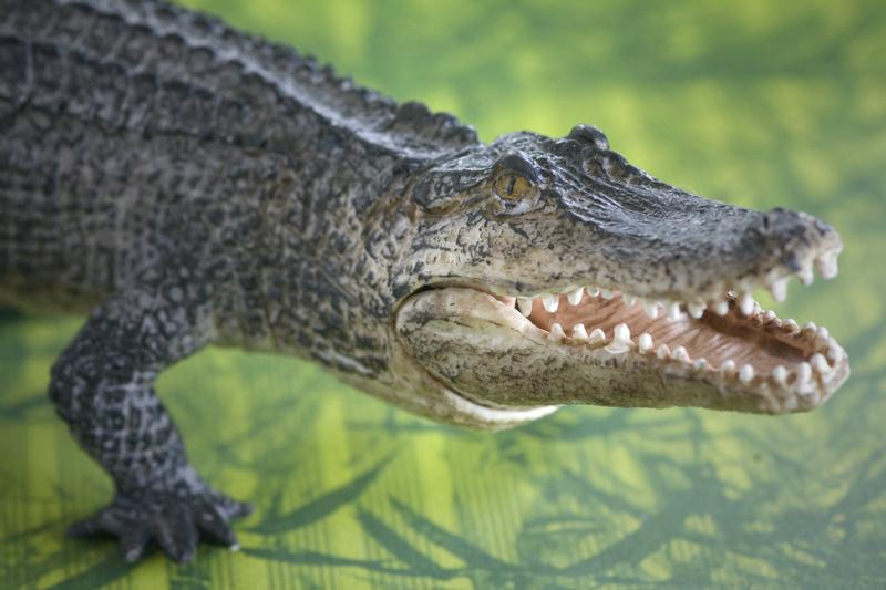 Mojo alligator- walk around by Ana _mg_6912